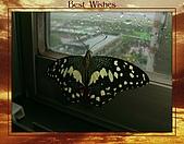 昆蟲世界:無尾鳳蝶