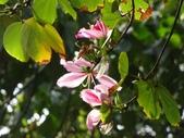 春花處處開:羊蹄甲