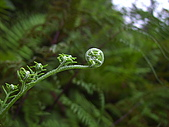 蕨類世界:粉葉蕨