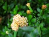 春花處處開:纓絨花