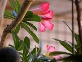 一些家花:沙漠玫瑰