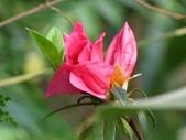 春花處處開:杜鵑花
