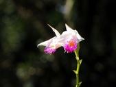 春遊台北植物園:葦草蘭