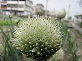 2009春節賞花樂:蔥的花