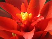 春花處處開:鳳梨花