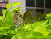 昆蟲世界:小灰蝶