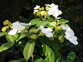 春花處處開:華八仙