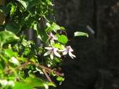 春遊台北植物園:屏東鐵線蓮