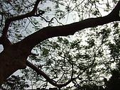 天母古道:樹