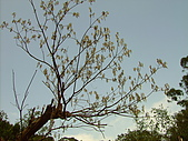 天母古道:枯樹