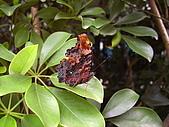 昆蟲世界:蛺蝶