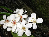 土城油桐花:油桐花