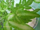 蕨類世界:銀鳳尾蕨
