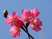 宮粉梅:櫻花