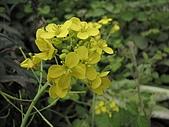 2009春節賞花樂:油菜的花