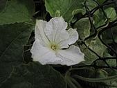 2009春節賞花樂:扁蒲的花