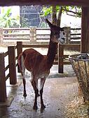 木柵動物園:駱馬