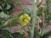 2009春節賞花樂:番茄的花