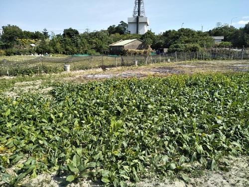 樹林柑園03.jpg - 樹林柑園波斯菊