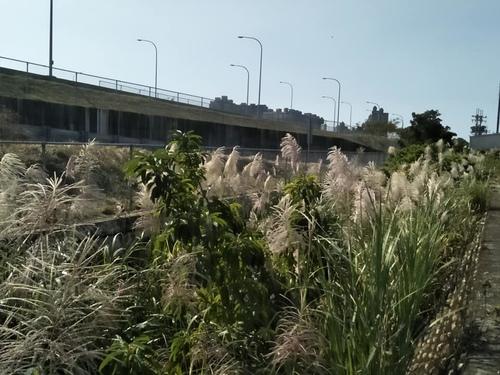 樹林柑園02.jpg - 樹林柑園波斯菊
