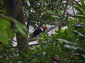 綠世界生態農場:大巨嘴鳥