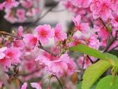 春暖花開:櫻花