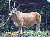 木柵動物園:牛