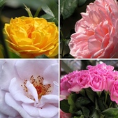 士林官邸玫瑰季:玫瑰季