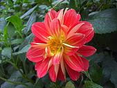 拉拉山之旅:大理菊