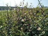 樹林柑園波斯菊:樹林柑園09.jpg