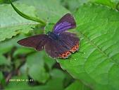 昆蟲世界:紅邊黃小灰蝶