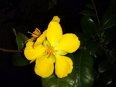 一些家花:桂葉黃梅
