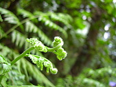 蕨類世界:蕨類的幼芽