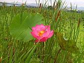 蓮花開〈樹林柑園橋下〉:荷花