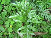 蕨類世界:半邊羽裂鳳尾蕨