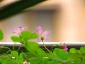 春暖花開:酢醬草