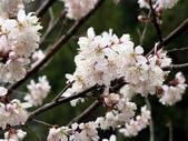 武陵櫻花:霧社山櫻