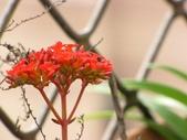 春暖花開:長壽花