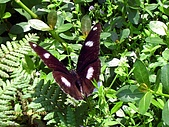 昆蟲世界:紅紫蛺蝶