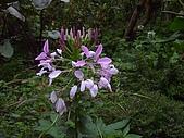 綠世界生態農場:醉蝶花