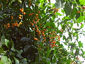 天母古道:金露花的果實