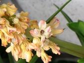 春暖花開:風信子