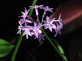 夏荷初開:紫嬌花