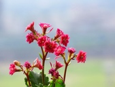 一些家花:多瓣長壽花