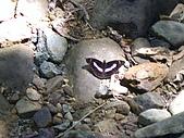 昆蟲世界:單帶蛺碟