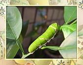 昆蟲世界:無尾鳳蝶幼蟲期