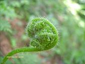 蕨類世界:蕨的幼芽