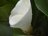 竹子湖海芋開:海芋