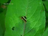 昆蟲世界:火炭母草與蛾
