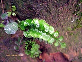 蕨類世界:圓葉鱗始蕨